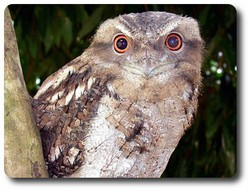 Papuan Frogmouth. Courtesy Lynette Ensor