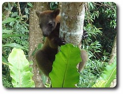 Bennetts Tree Kangaroo