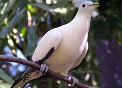 Pied Imperial Pigeon. Courtesy Lynette Ensor