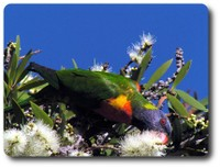 Rainbow Lorikeet eating nectar. Courtesy Lynette Ensor