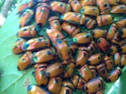 These amazing bugs are often found clustered under leaves.