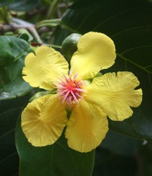 Tree with red papery bark, bright yellow flowers and red fruits