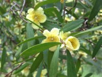 Yellow Tea-tree